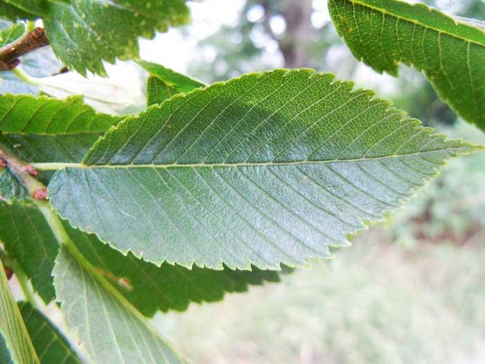 American Elm Foliage (Wikipedia Commons)