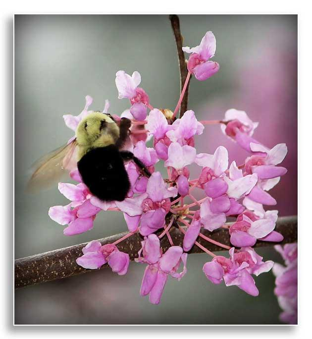 A bumblebee collects nectar from a Redbud tree at Buckhorn Lake, Buckhorn, Kentucky. (U.S. Army Corps of Engineers Louisville District photo by Priscilla Southwood)