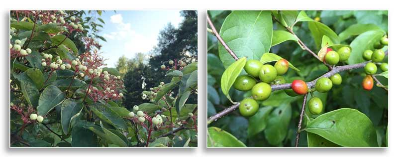 (Left) Berries of the rough-leaf dogwood (Cornus drummondii); (Right) Spicebush (Lindera benzoin) berries ripening in the last weeks of August - both create dining opportunities for birds at the University of Kentucky Arboretum (J. Miller)