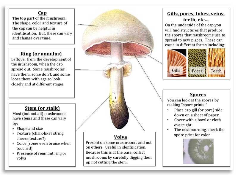 Anatomy of a mushroom (Ellen Crocker)