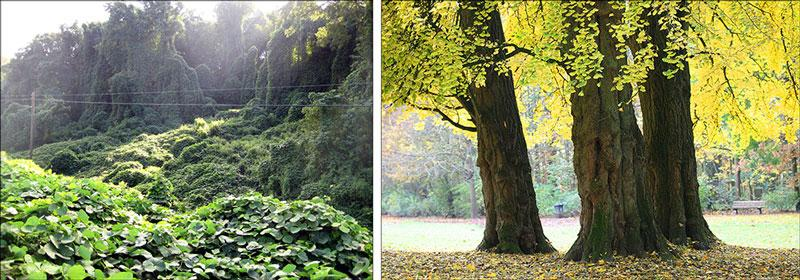 Kudzu forest (Tobin from Flickr (Creative Commons)) and Gingko trees (Wikipedia (Creative Commons))