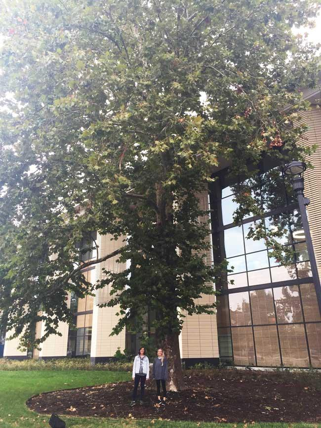 The favorite American sycamore of Sarah and Emily on University of Kentucky Campus in September 2016
