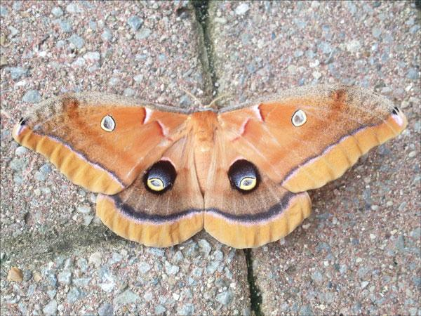 A polyphemus moth found at the University of Kentucky Arboretum. Photo by Laura Baird