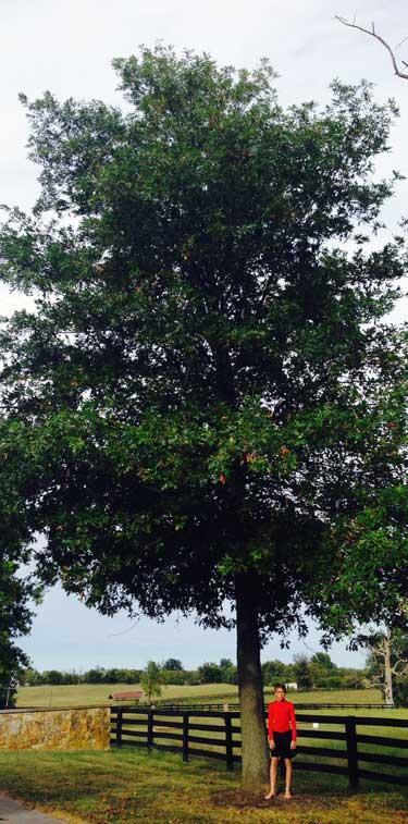 The favorite Pin Oak of Joseph in Summer 2015