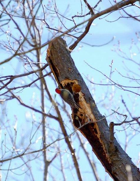 Red-bellied woodpecker tending to a nest (Beverly James)