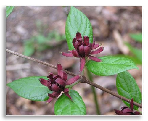 UKnTrees-UFI-Carolina-Allspice-Photo1-Dec