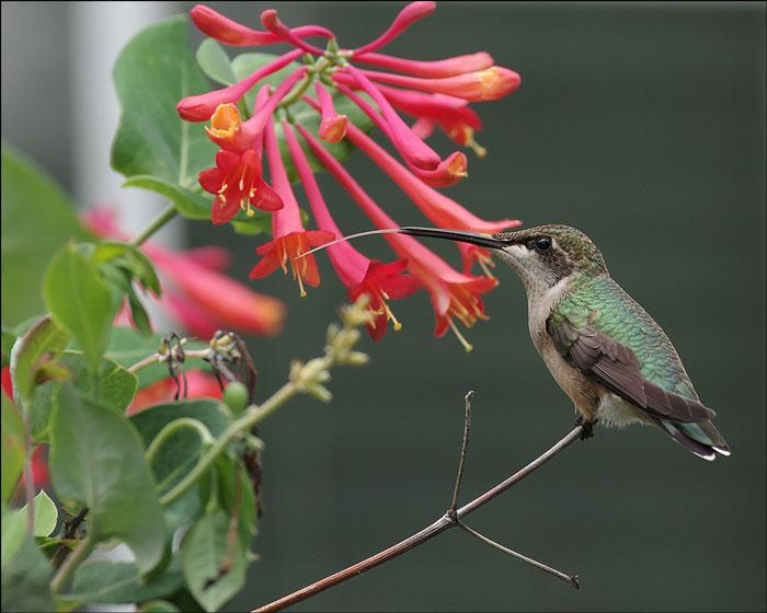 Trumpet honeysuckle and female ruby-throated hummingbird. Photo by Bud Ohio